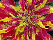 amarantus1